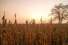 Soybean field in early morning Royalty Free Stock Photo