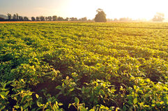 Soybean field in early morning light Stock Image