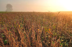 Soybean field in early morning Royalty Free Stock Photography