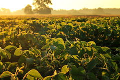 Soybean field in early morning Royalty Free Stock Photos