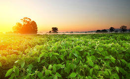Soybean field in early morning Stock Photos
