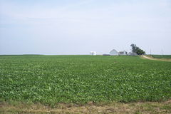 Soybean Field with Farmhouse. A soybean field in rural Illinois with a farmhouse and grain bins in the distance Stock Photo