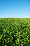 Soybean field with fresh soya Stock Photo