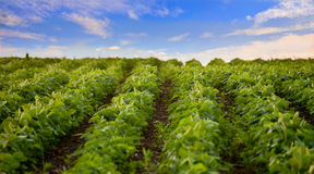 Soybean field, low angle view Stock Images