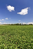 Soybean Field Near Harvest Time Stock Photos
