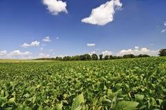 Soybean Field Near Harvest Time Stock Photos