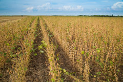 Soybean field ripe just before harvest, agricultural landscape Royalty Free Stock Photos
