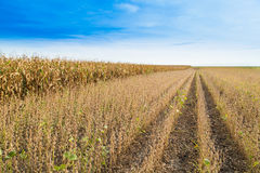 Soybean field ripe just before harvest, agricultural landscape Royalty Free Stock Images