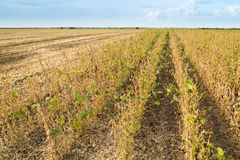 Soybean field ripe just before harvest, agricultural landscape Stock Photography