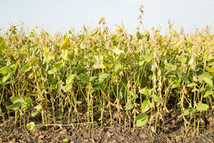 Soybean field ripe just before harvest, agricultural landscape Stock Photos