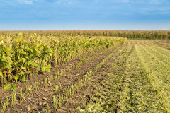 Soybean field ripe just before harvest Stock Photos