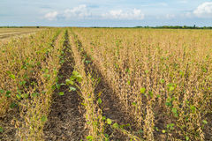 Soybean field ripe just before harvest, agricultural landscape.  Royalty Free Stock Images