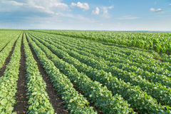 Soybean field ripening, agricultural landscape Royalty Free Stock Photo
