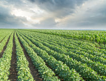 Soybean field ripening, agricultural landscape Royalty Free Stock Photography