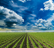 Soybean field ripening at spring season, agricultural landscape. Royalty Free Stock Photo
