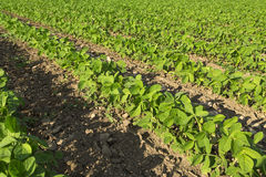 Soybean field ripening at spring season, agricultural landscape. Stock Photos