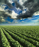 Soybean field ripening at spring season, agricultural landscape. Stock Image