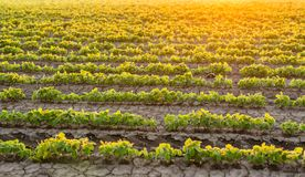 Soybean field ripening at spring season, agricultural landscape.  Stock Photography