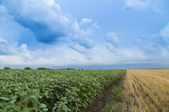 Soybean field ripening at spring season next to stubble field Stock Photo