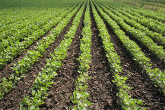 Soybean Field Rows Royalty Free Stock Image
