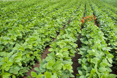 Soybean Field Rows Stock Photo