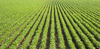 Soybean field with rows Stock Photos