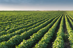 Soybean Field Rows stock photography