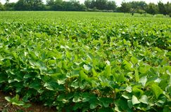 Soybean field with rows of soya bean plants stock image