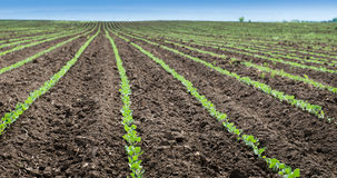 Soybean Field Rows Royalty Free Stock Photography