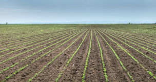 Soybean Field Rows Stock Photos