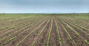 Soybean Field Rows Stock Photos