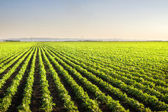 Soybean Field Rows Stock Images