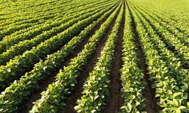 Soybean Field Rows. In summer stock images