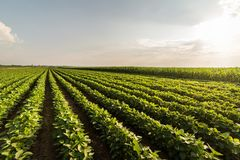 Soybean Field Rows. In summer stock photos