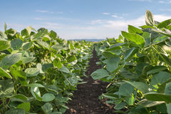 Soybean Field Royalty Free Stock Photos