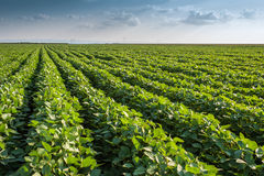 Soybean Field Royalty Free Stock Photography