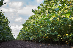 Soybean Field Royalty Free Stock Images
