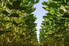 Soybean Field Royalty Free Stock Photos