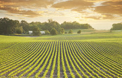 Soybean field at sundown. Rows of young soybean plants shot at sundown in Minnesota Royalty Free Stock Photo