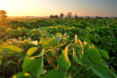 Soybean field at sunrise Royalty Free Stock Photography