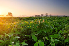 Soybean field at sunrise Stock Photography