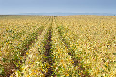 Soybean fields. In the autumn Royalty Free Stock Photography