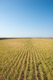 Soybean fields Royalty Free Stock Photography