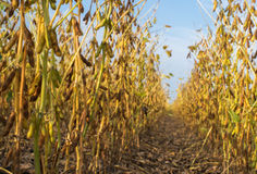 Soybean fields Stock Photography