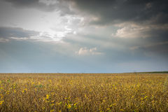 Soybean fields Stock Photo