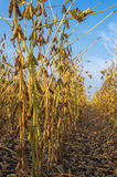 Soybean fields Stock Images