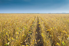 Soybean fields Royalty Free Stock Images
