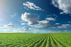 Soybean fields at idyllic sunny day. Rows of green soybeans against the blue sky. Soybean fields rows in summer season Royalty Free Stock Image
