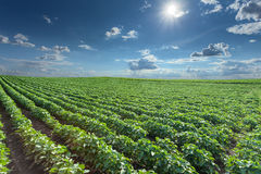 Soybean fields at idyllic sunny summer day Royalty Free Stock Photos