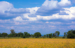 Soybean Fields Ready for Harvest. With rain clouds floating past Royalty Free Stock Image